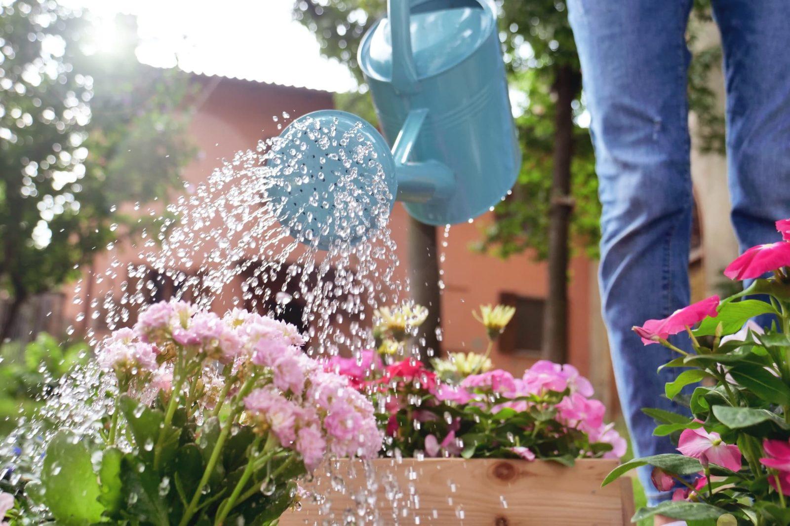 woman watering pink flowering plants in garden