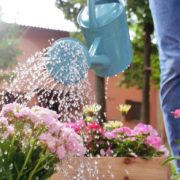 woman watering pink flowering plants in garden