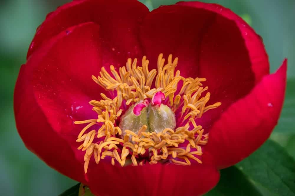 a dark red early scout peony