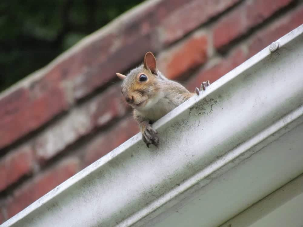Nosey squirrel sat in drains of a house