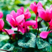 beautiful pink cyclamen flowers with dark green leaves