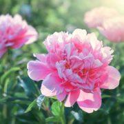 pink flowering peonies