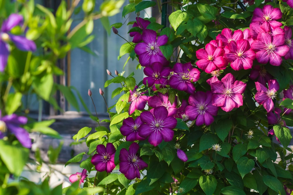 bush clematis with pinkish-purple flowers