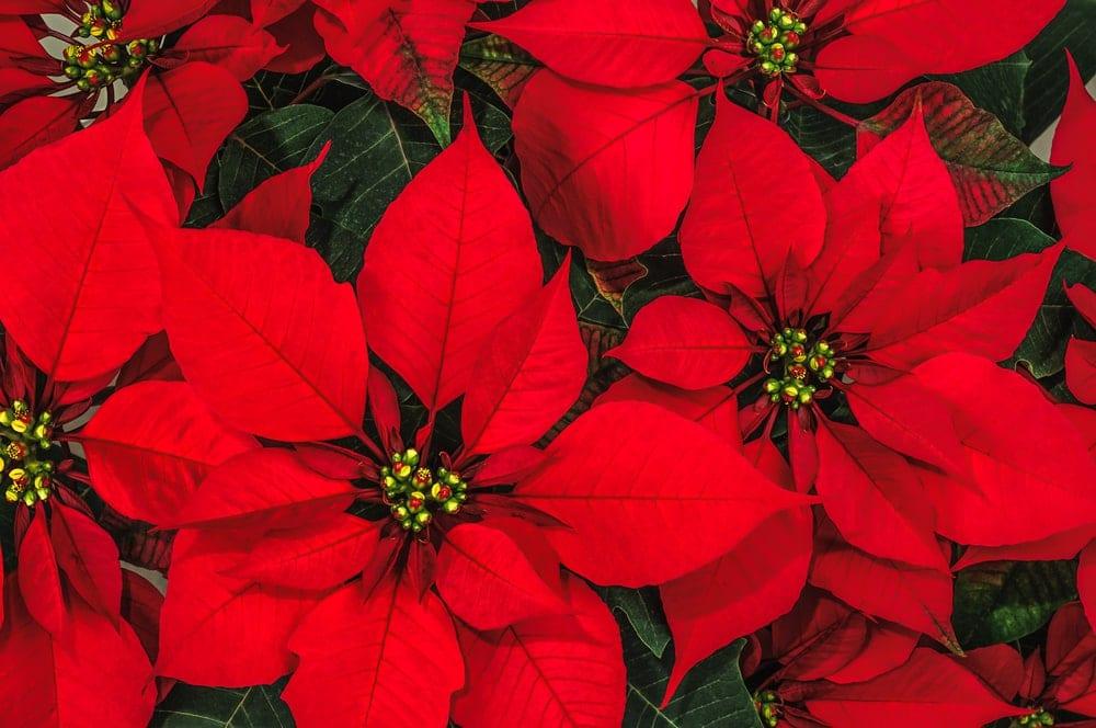 red christmas poinsettias