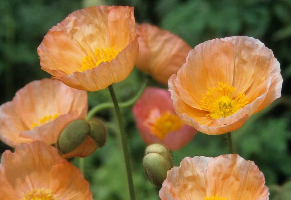 bowl shaped icelandic poppies