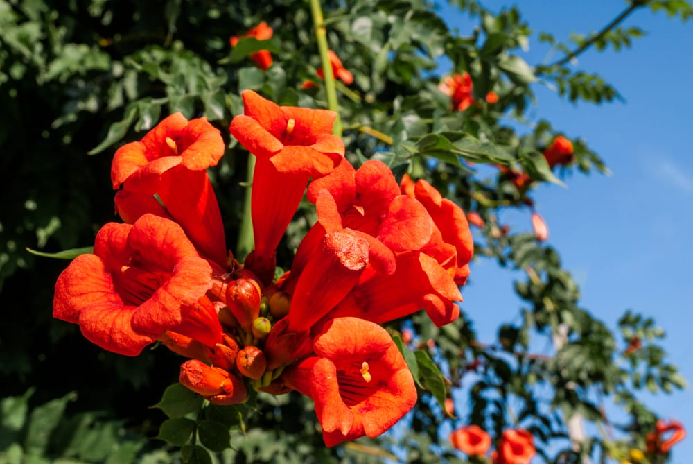 trumpet shaped campsis flowers