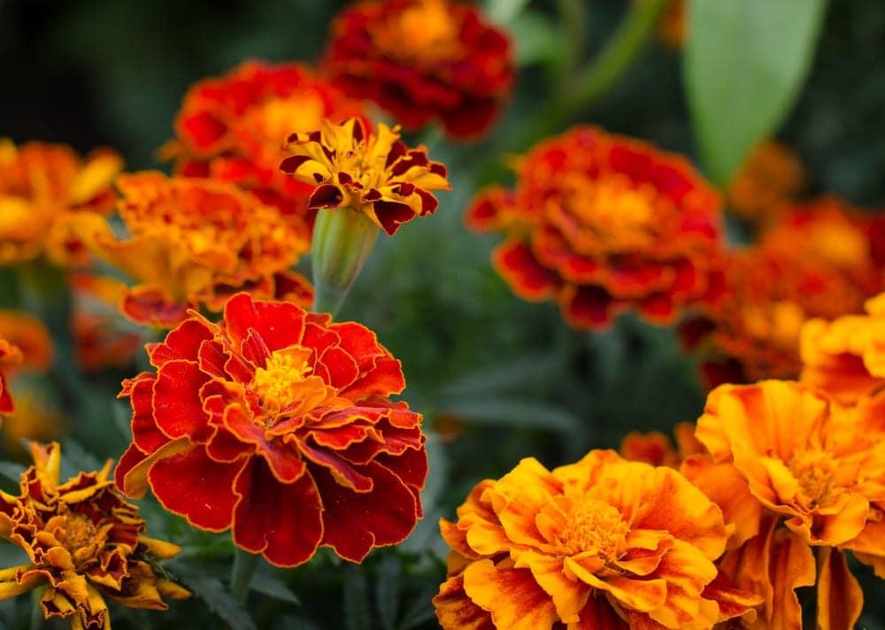 dark red and orange marigolds