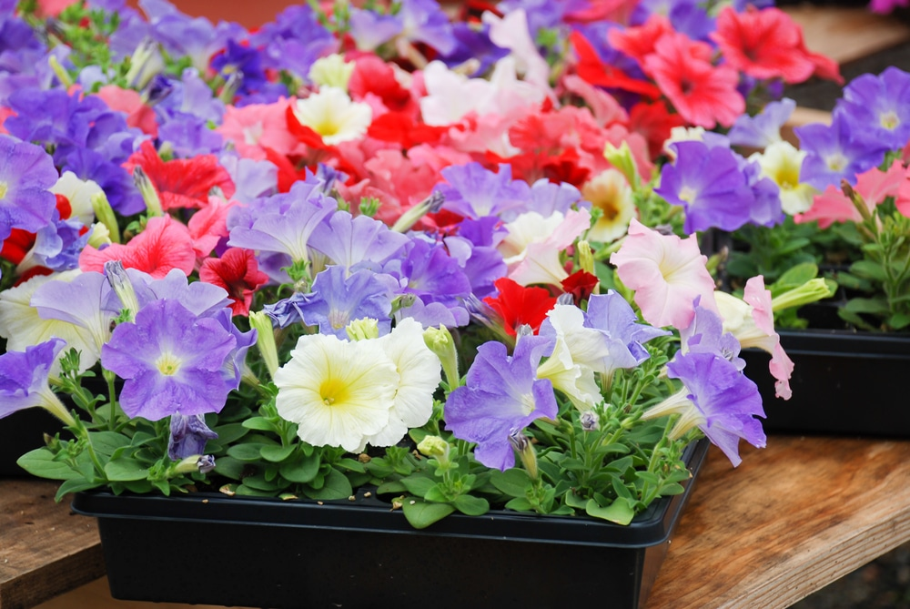 Brightly coloured petunias in plastic pots sat on a table