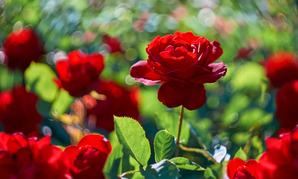 Red roses blooming in a rose garden