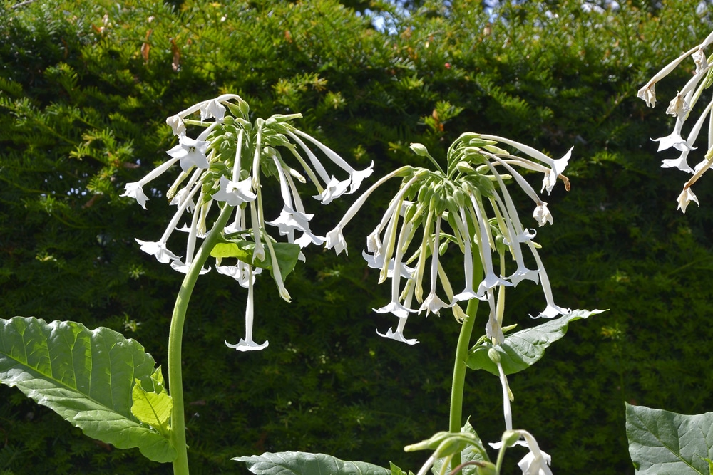 Drooping white flowers of the nicotiana sylvestris plant