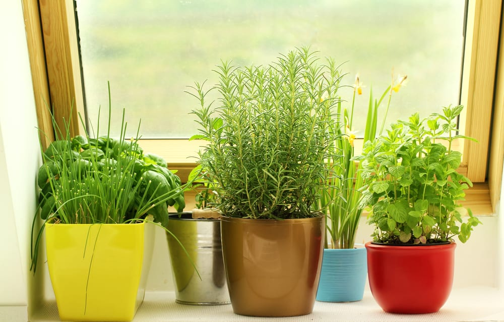 herbs growing in multi coloured plant pots