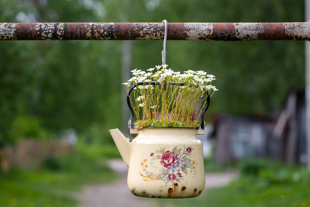 saxifrage plant with small white flowers growing from an old ceramic teapot
