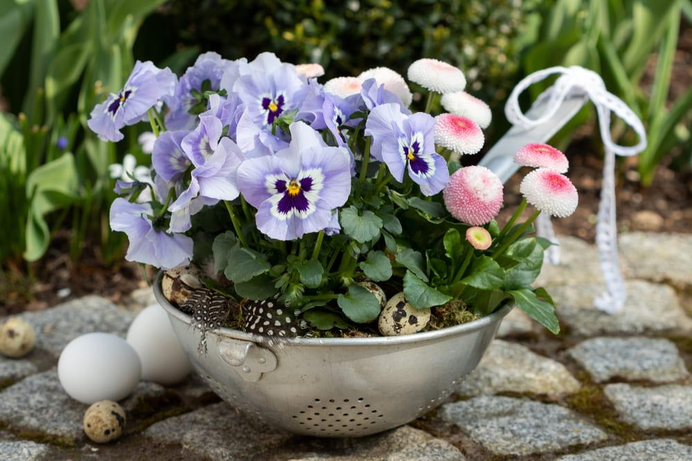 viola flowers and bellis perennis growing out of a colander