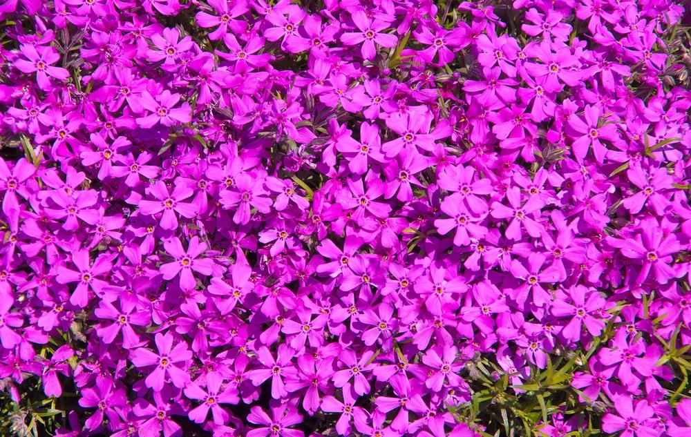 Purple flowers of phlox subulata