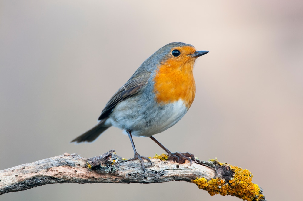 Orange breasted robin on branch