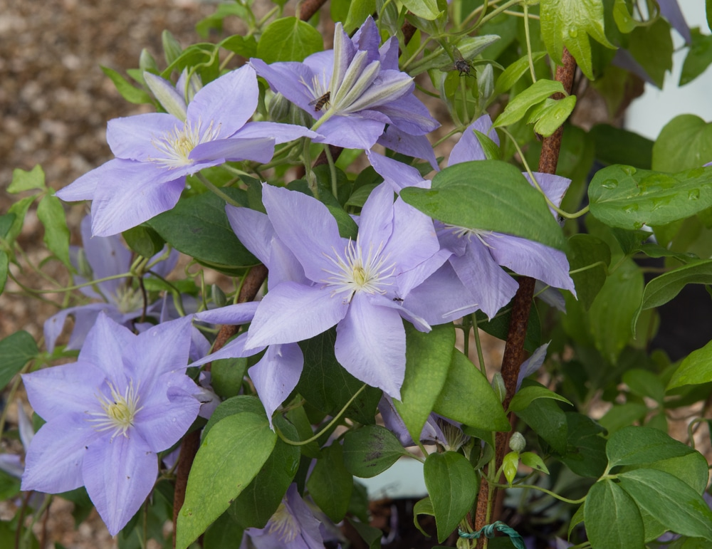 Purple clematis 'Cezanne' in a country garden