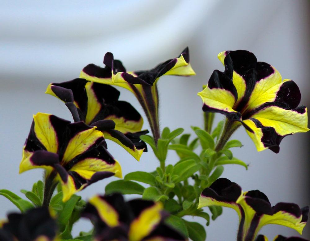 Yellow and black petunia phantom