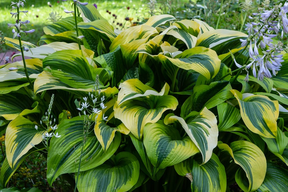 beautiful hosta leaves in a park