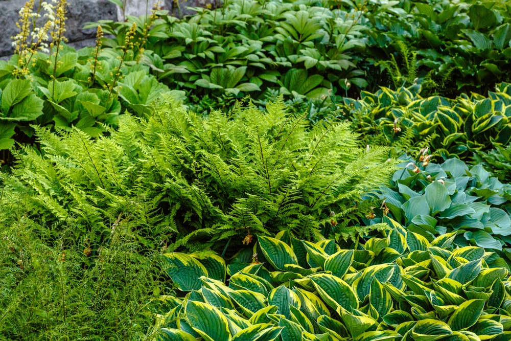 Green leaves of hosta and other flowering plants