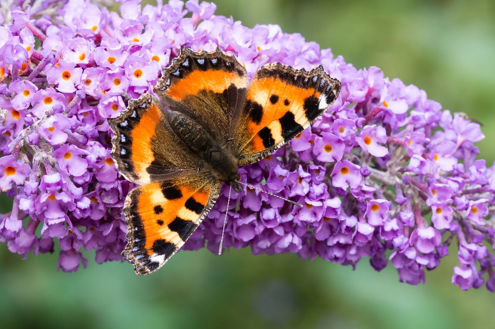 A small Tortoiseshell butterfly sat on buddleia plant