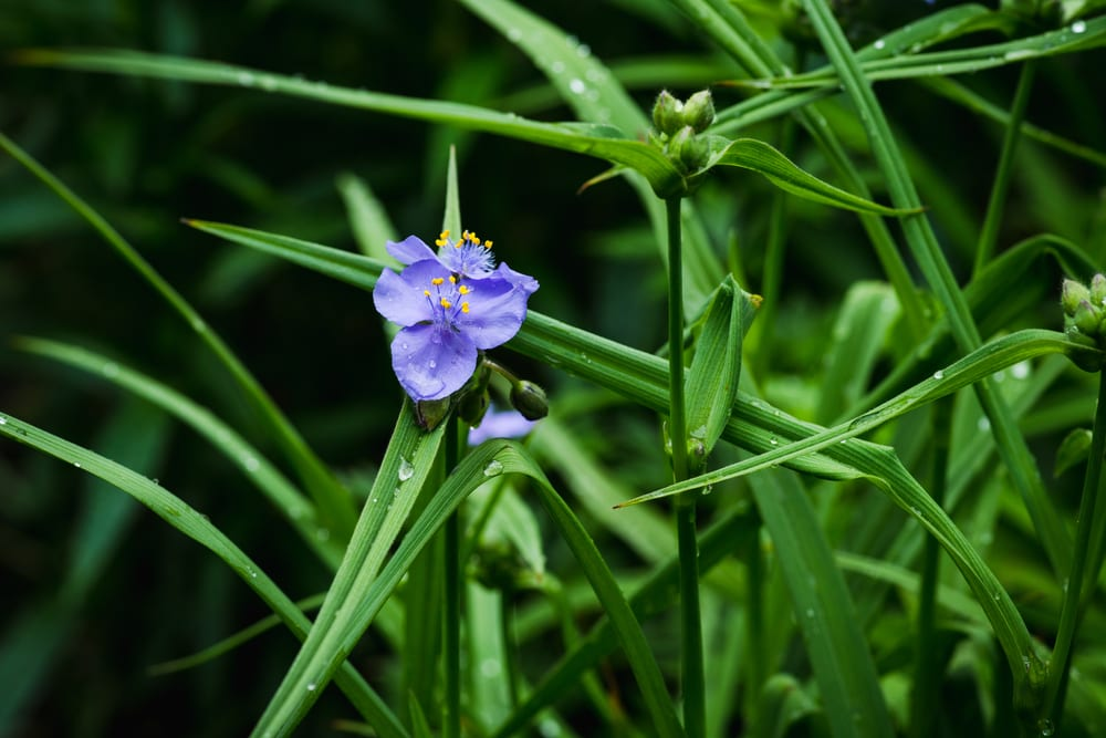 blue Tradescantia blooming in the garden, green foliage in the background