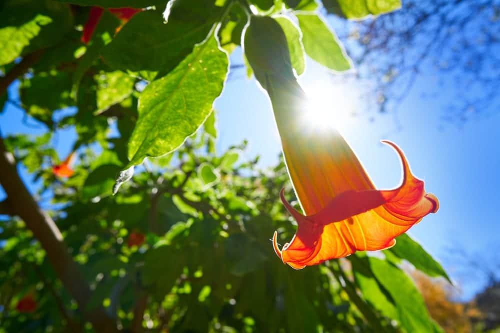 angels trumpet flower in focus with green leaves in background
