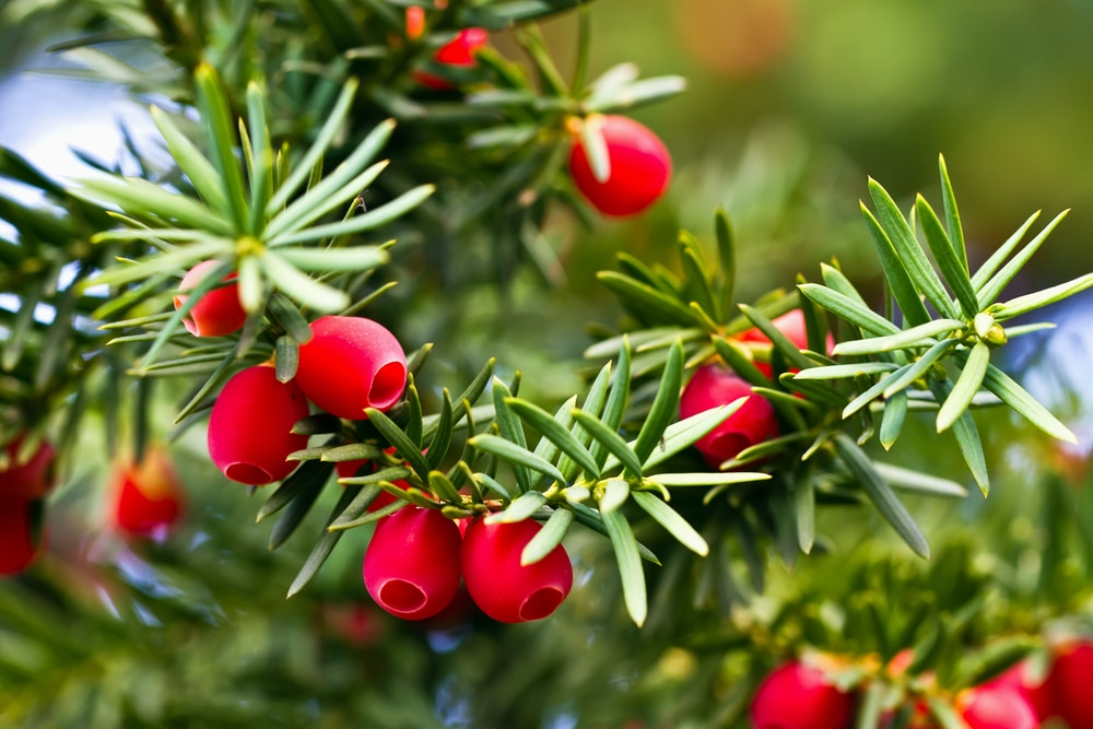 Yew tree with red fruits