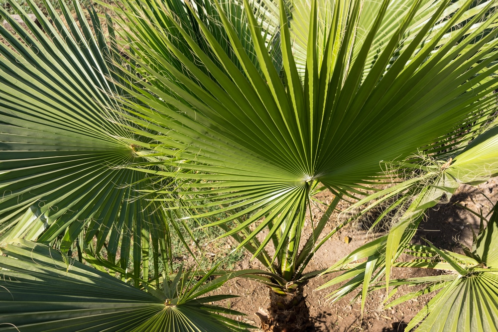 palm leaf of trachycarpus fortunei close up