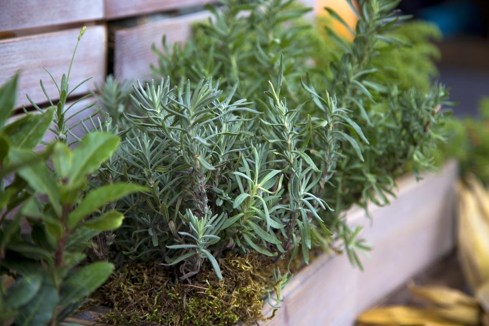 Herbs in rustic wooden planters