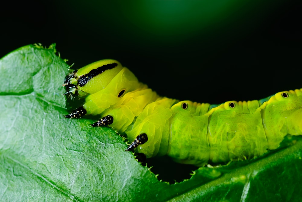 close up of a bright green caterpillar eating a plant
