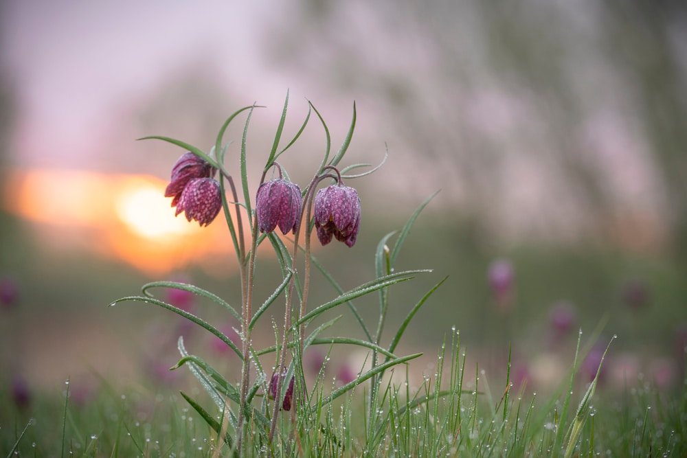 snakes head fritillary with early morning dew