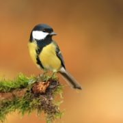A great tit bird sat on a garden branch