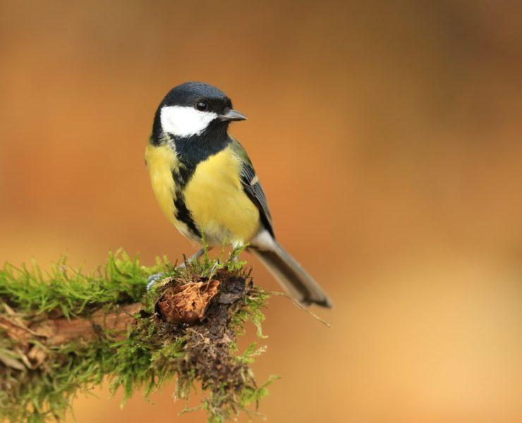A great tit bird sat on a garden branch