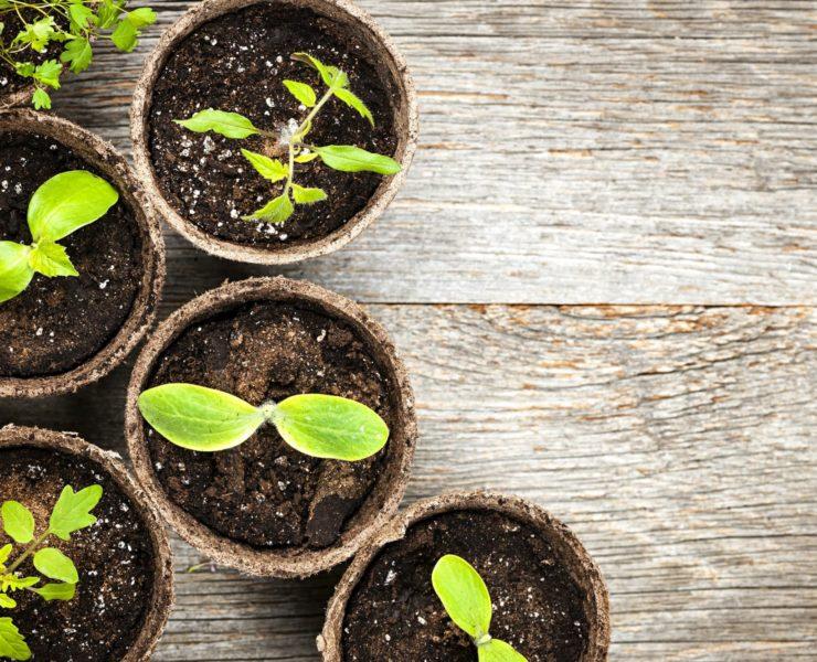 green seedlings growing in pots on a wooden table