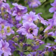 purple geraniums and bumblebee in an english summer garden