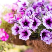 a flowerbed with purple and pink petunias