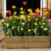 daffoldils flowering from a timber planter