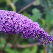 Close up of purple Buddleja plant