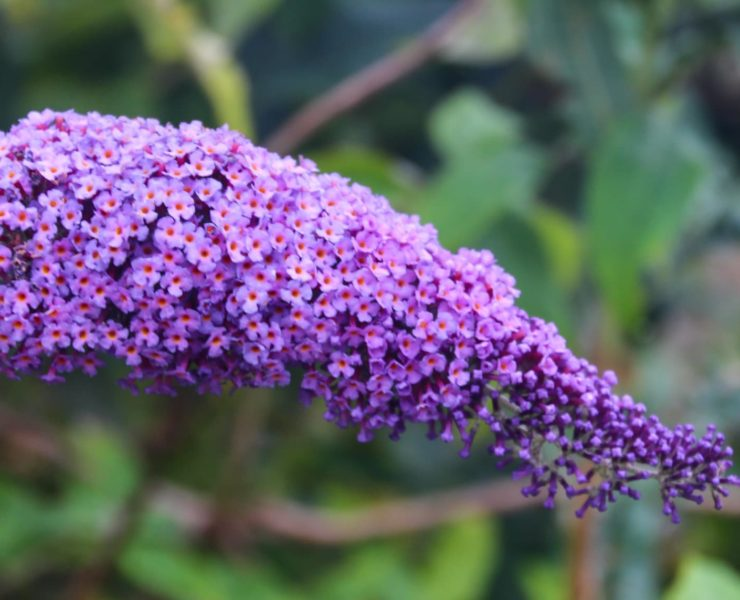 Close up of purple Buddleja plant
