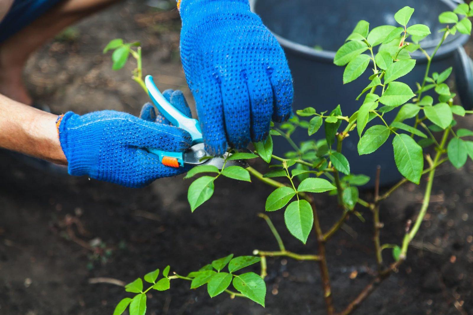 gardener in blue gloves pruning rose bushes