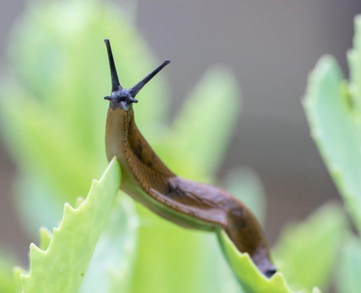 Close up of a Portuguese slug on a green plant
