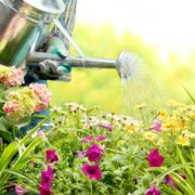 watering colourful flowers in garden