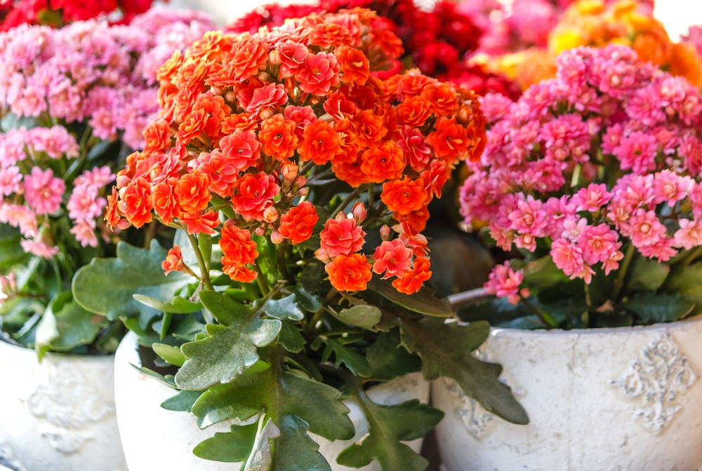 Potted decorative Kalanchoe blossfeldiana in red, pink and orange
