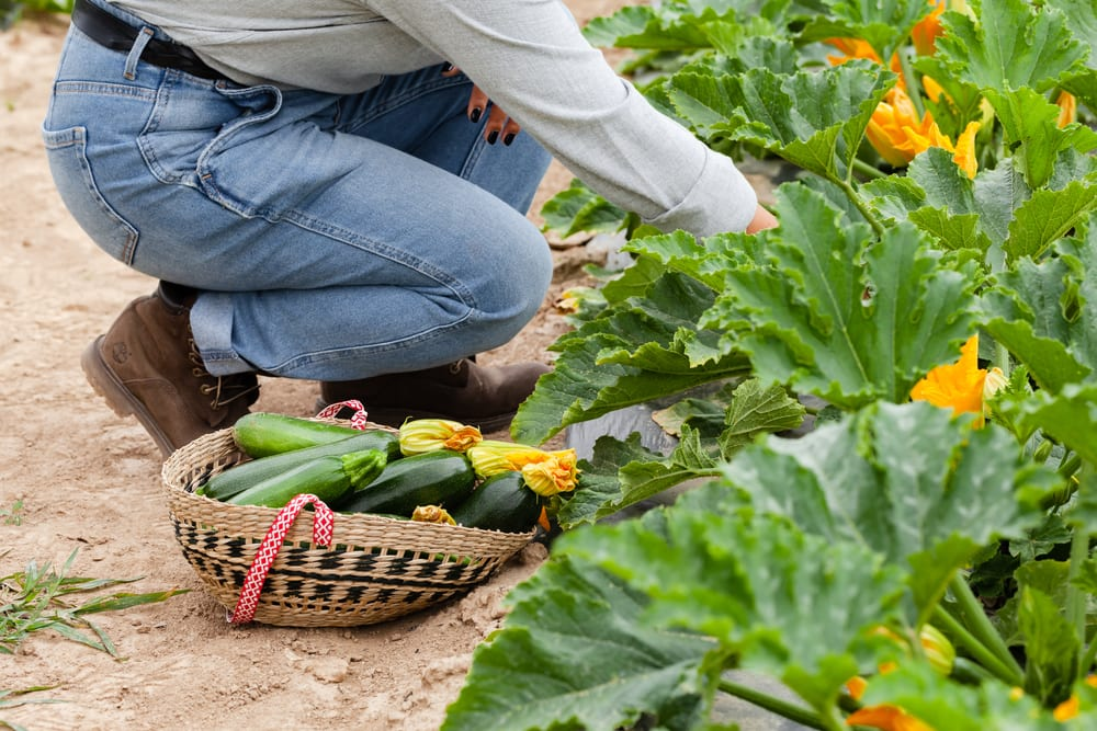 Young farmer picking courgettes in a basket