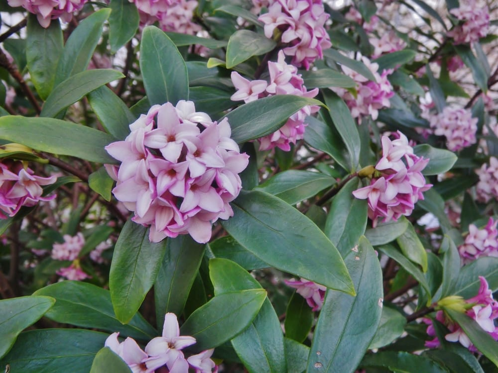 Pink Daphne odora flowers with green foliage