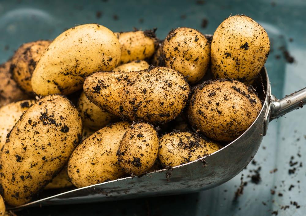 freshly dug charlotte potatoes in a steel shovel