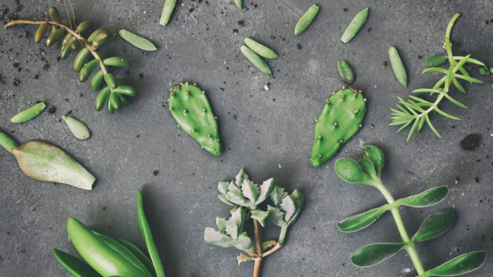 succulent cuttings on a grey surface