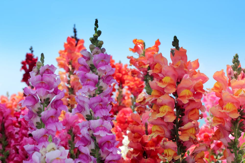 Purple and peach coloured snapdragon flowers