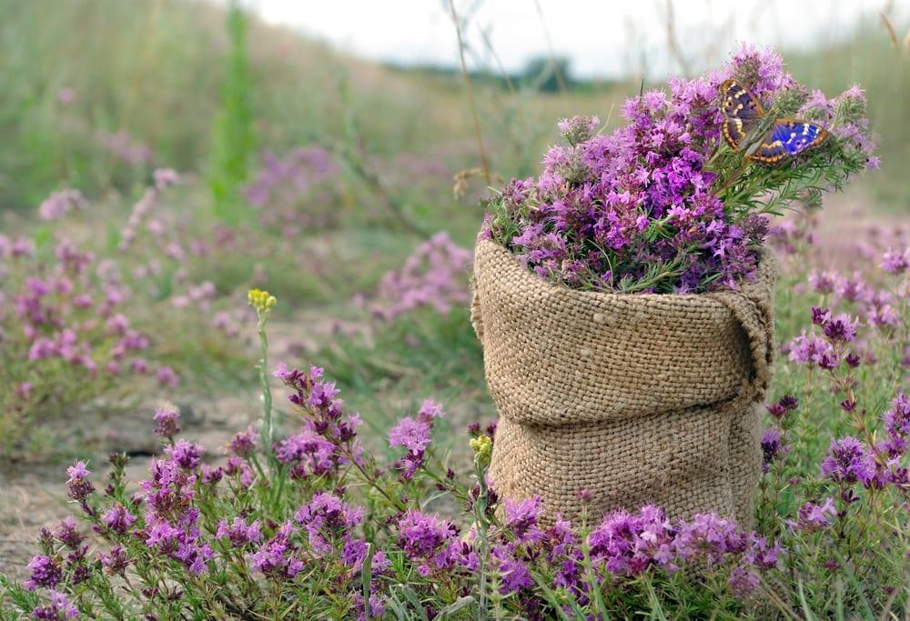 purple thyme in a sack, sat in a field