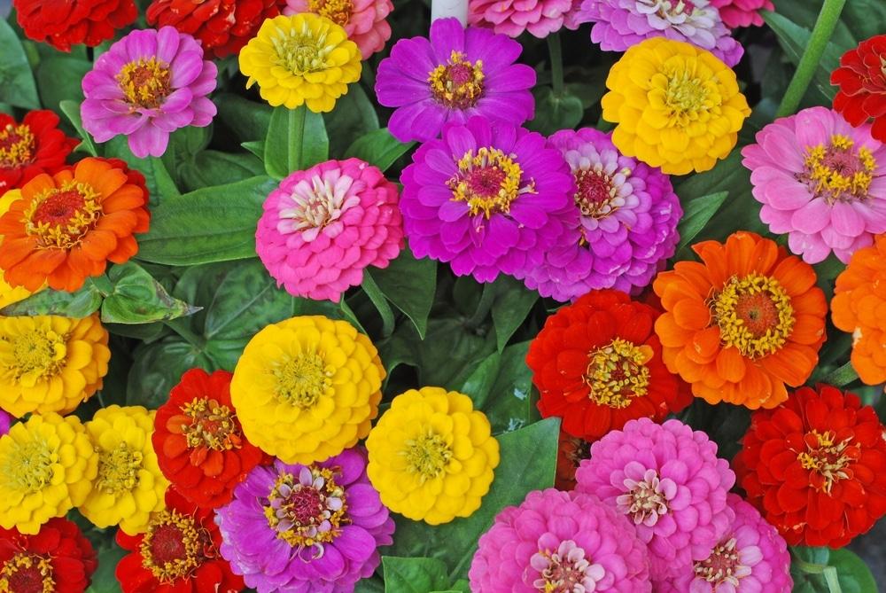 Yellow, pink, purple, red and orange zinnia flowers